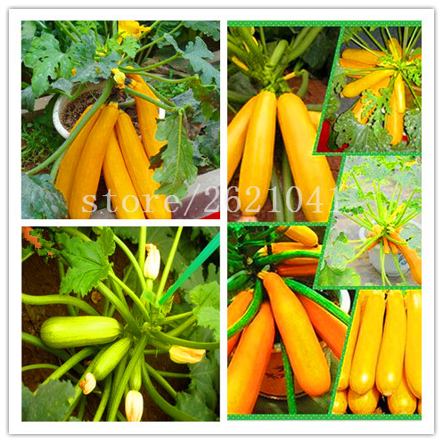 Hot selling 10Pcs Gold and green squash seeds vegetable seeds for home garden