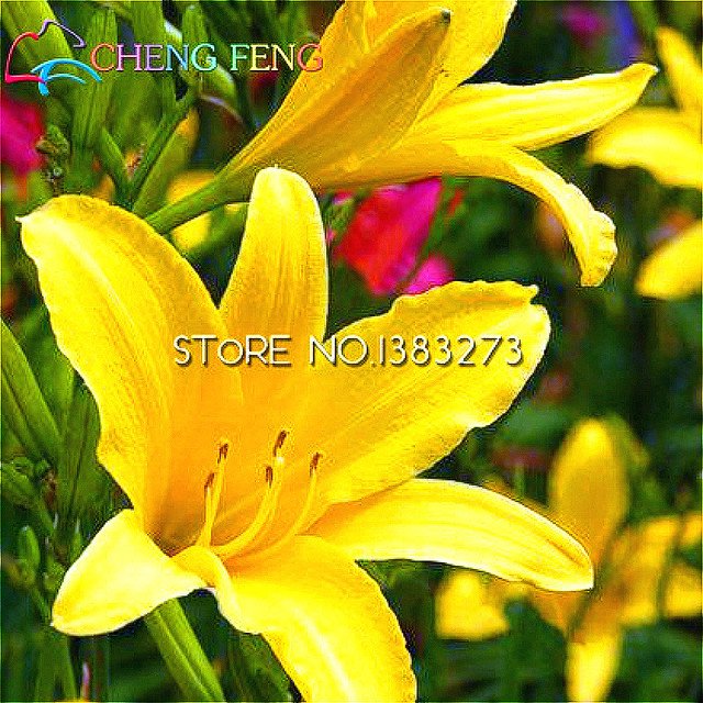 Free shipping 100 seeds hybrid daylily seeds perennial flower bulbs free shipping 100 seeds hybrid daylily seeds perennial flower bulbs perennial flores seed vegetable and fruit mightylinksfo Gallery