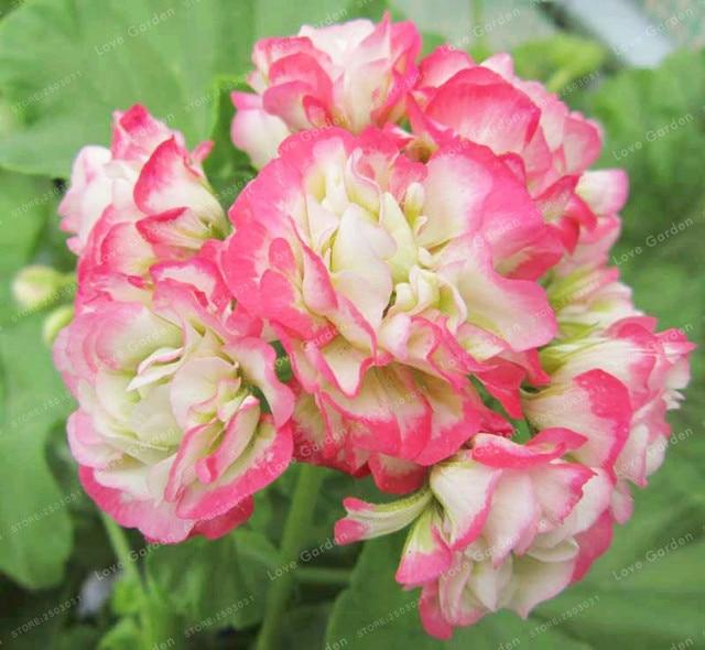 100 pz piante di Geranio Apple blossom Bocciolo di Pelargonium Fiore Perenne Hardy Pianta Bonsai In Vaso Plantas Decorazione del Giardino