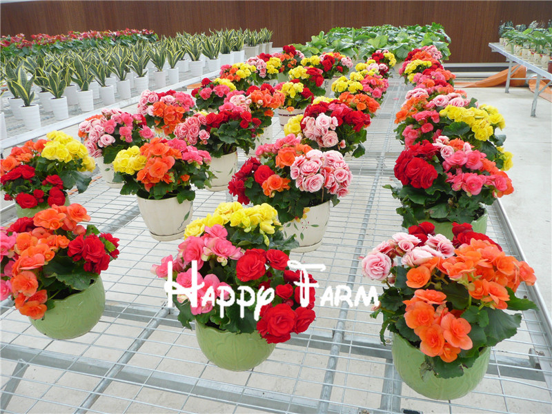 Flower seeds 100 seeds/bag Potted flowers Rose Rieger begonia seeds Begonia Bonsai seeds Home Garden Free shipping