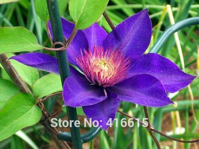 clematis seeds clematis multi blue seeds royal blue vine flowers plant seed vines climbing plants twining - Vining Flowers