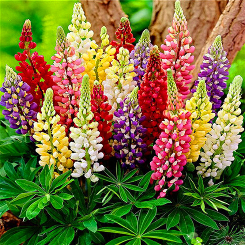 Popular Lupine Plant Buy Cheap Lupine Plant Lots From