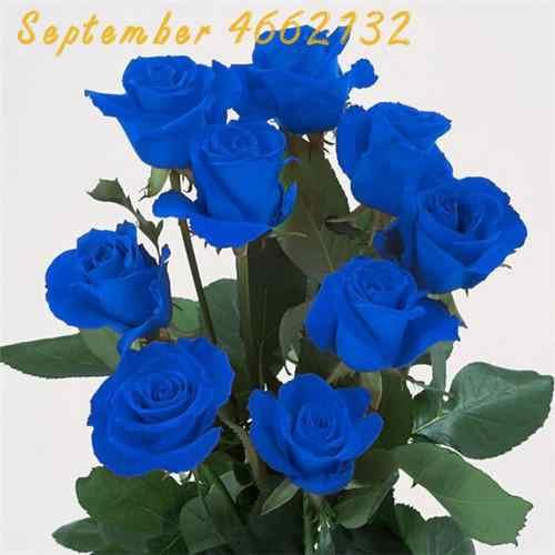 100 個レアオランダレインボーローズフラワーシード盆栽家庭菜園レア花植物 24 色レインボーローズフローレス、は、花の苗
