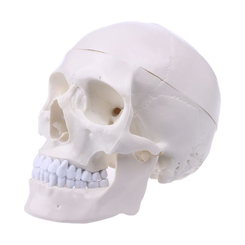 1:1 Human Life Size Human Anatomical Anatomy Head Skeleton Skull Teaching tool for School Supplies