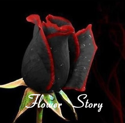 20 Black Rose Seeds--with red edge, rare color , popular garden flower Seeds Perennial Bush or Bonsai Flower