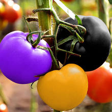 500 pcs Tomato bonsai Rare Rainbow tomato plant Bonsai Organic Vegetable fruit plant Potted plant for Home & Garden Easy to Grow(China)