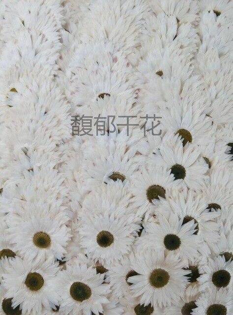 Free shipping pressed flower 1000pcsmillennium chrysanthemum white free shipping pressed flower 1000pcsmillennium chrysanthemum white purple dried flower diy material pink purple white mightylinksfo