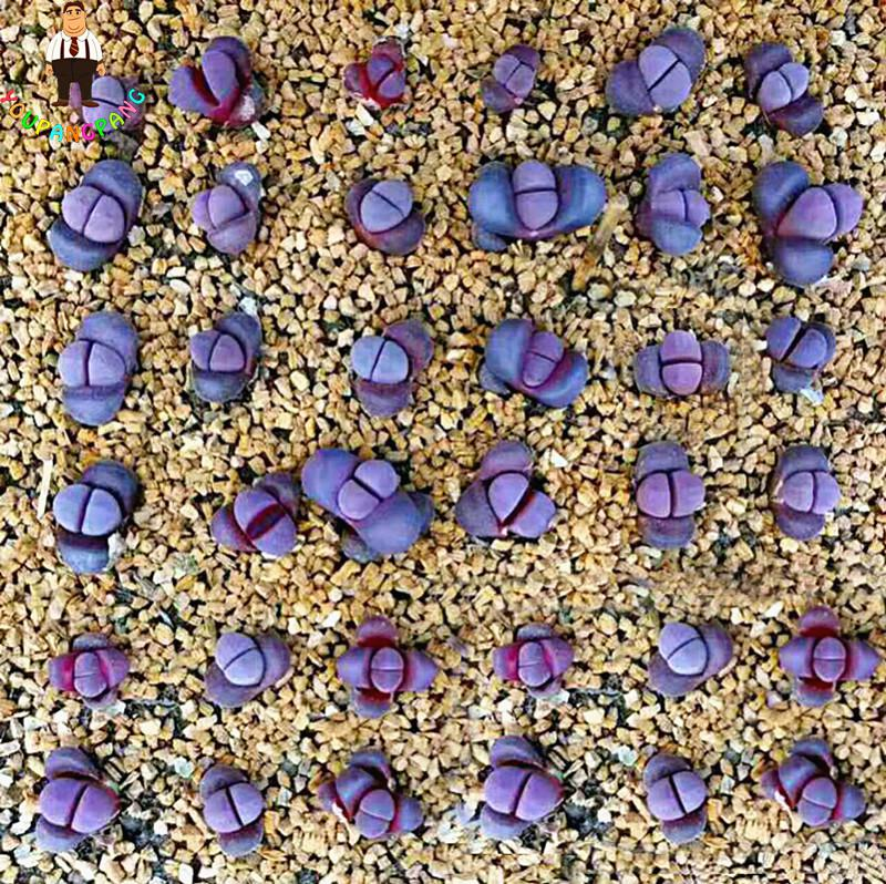 100pcspack Mix Living Stone plants Lithops Succulent Bonsai Plants plants For Balcony Home & Garden Flower Pots Planters
