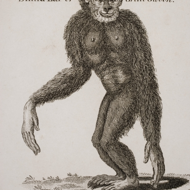 Simia Lar  Great Gibbon. Engraved By Barlow  18Th Century. Poster Print (26 x 32)