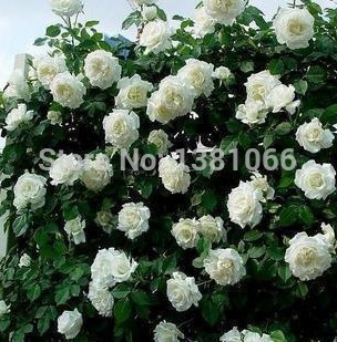 White Garden Rose Bush online buy wholesale red white pink roses from china red white