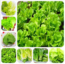 New 1000 pcs Greek Lettuce bonsai good taste, easy to grow, great salad choice ,DIY Home potted plants,organic vegetable herb(China)