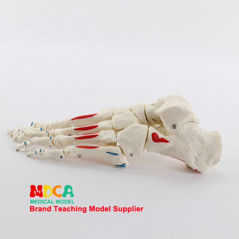 1:1 Life Size, Bone And Foot Muscles Start And Stop Point Identification, Department Of Orthopedics Massage Teaching, Medical