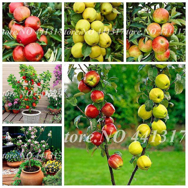 50 pcs/ bag Dwarf Apple Bonsai Miniature Apple Tree Sweet Organic Fruit Vegetable Plant Idoor or Outdoor Plant for Home Garden