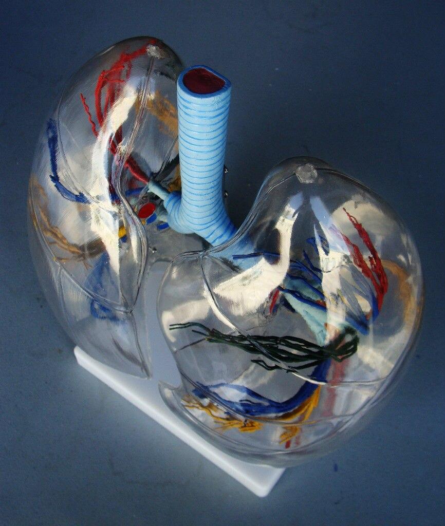 Menschliche gehirn skeleton anatomischen l Klare Lunge Segment ...