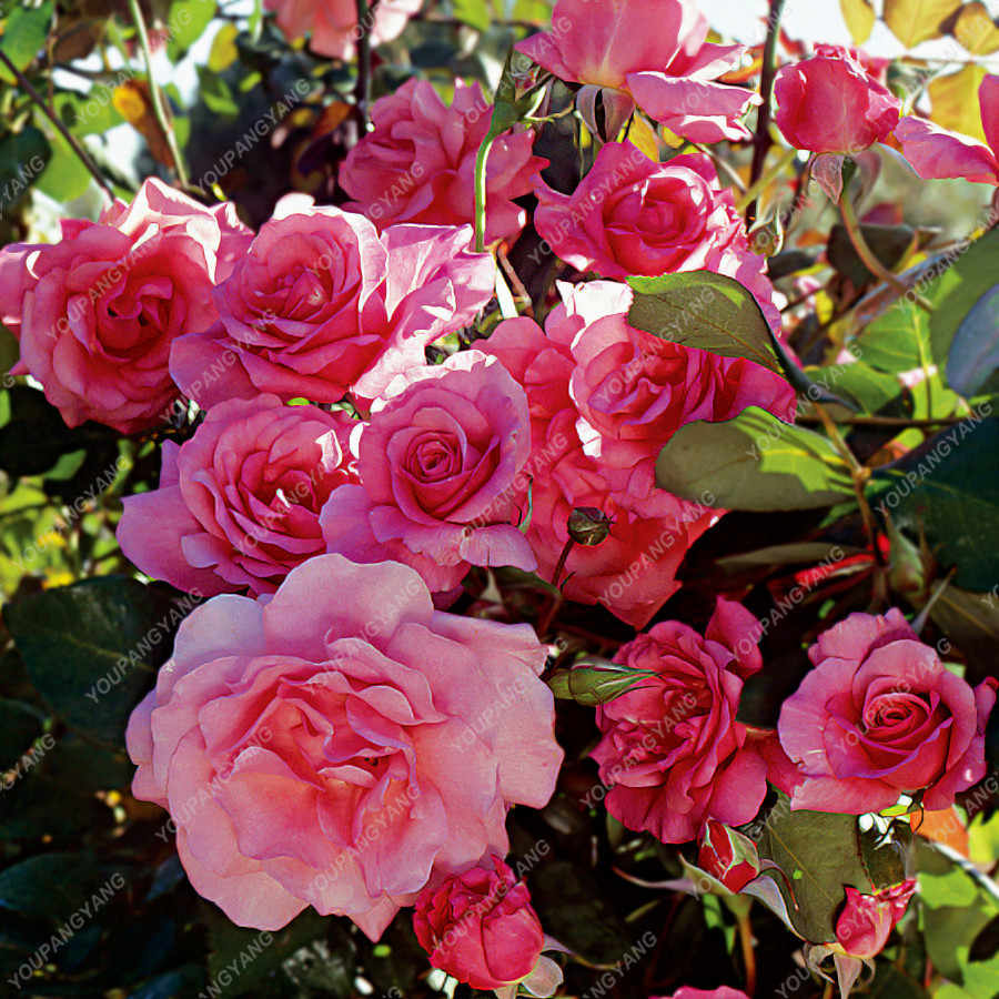 50 Pcs Climbing Roses Bonsai Plants Chinese Flower Rose Rosa Perennial Flowers Plant