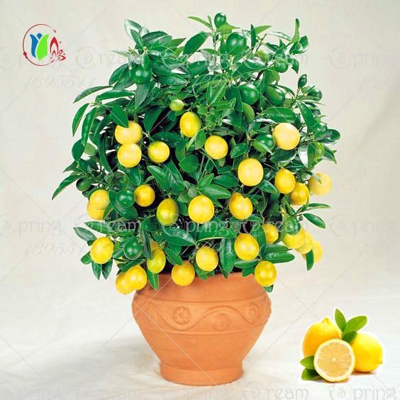 20 штук Лимонное дерево семена плодов бонсай завод DIY домашний сад бонсай семена съедобные Семена Зеленый лимон