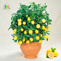 20 pcs lemon tree sementes de frutas sementes bonsai planta diy horta sementes comestíveis sementes bonsai lemon sementes verde