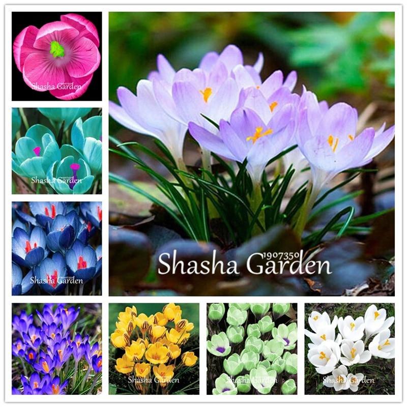 True Crocus Saffron plants Iran Saffron (Not Saffron Bulbs) Flower flores Happy Joy Flowers Bonsai Pot Plant Home Garden-100 pcs