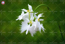 100pcs/bag Japanese Phalaenopsis Seeds White Egret Orchid Seeds World Rare Orchid Species White Baison Flowers Orchidee Garden