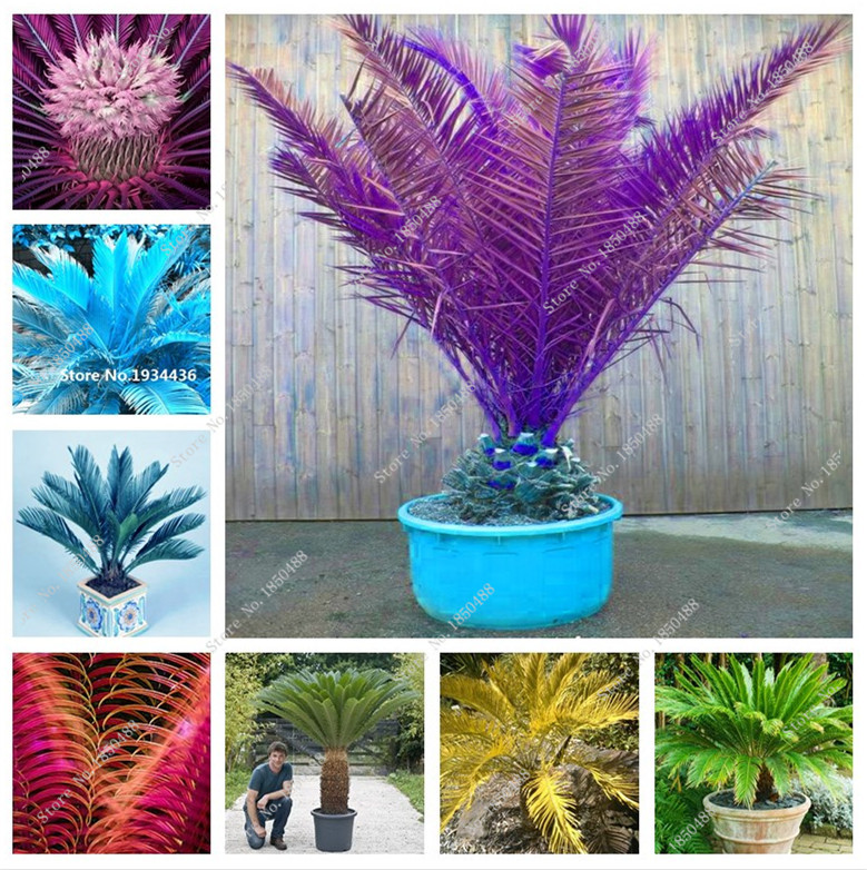 10 PCS mini different color bonsai cycas seed,clean the air foliage plants cycas tree for the garden of the house DIY