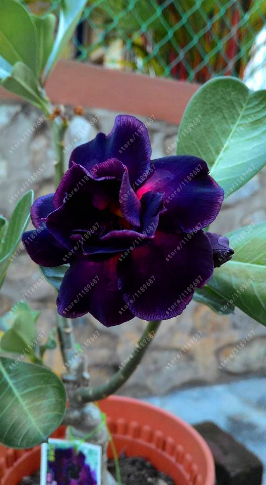 Purple Black Desert Rose seeds adenium obesum seeds bonsai flower seeds double petals potted plant for home garden 5 pcs/bag