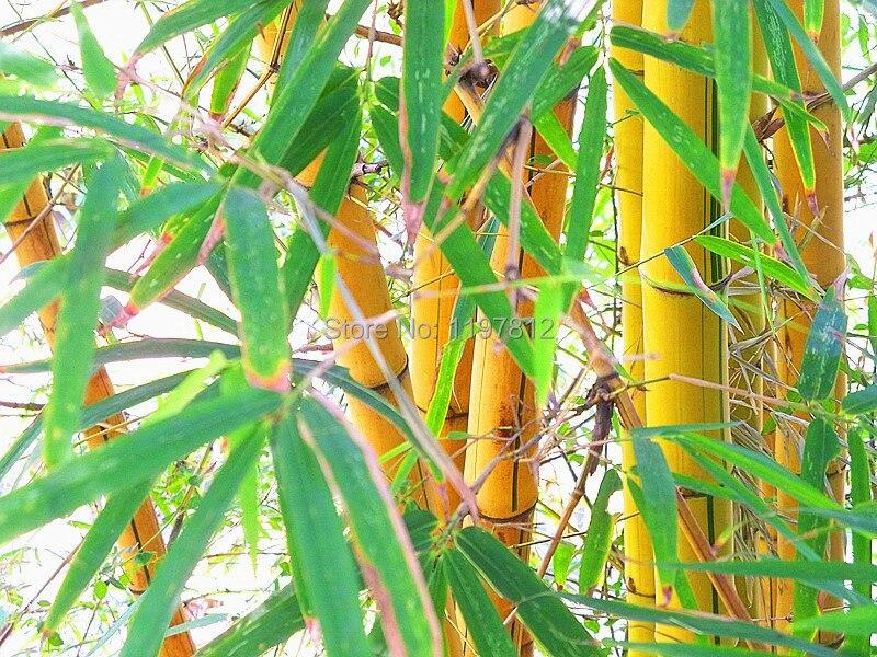 en venta calidad semillas de bamb nueva unids set calidad oro rbol de