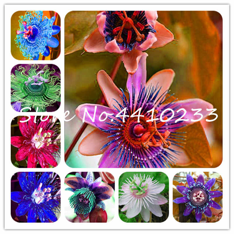 20 Pcs Bonsai Passion Flower ,Passiflora Incarnata Certified Pure Live ,Tropical Flower True Native Potted Plant For Home Garden