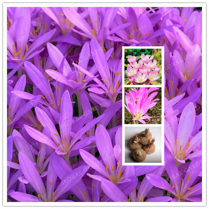 True Pink Crocus Saffron Bulbs,Iran Saffron,(Bonsai),Flower Bulbs,Happy Joy Flowers,Bonsai Home Garden-2Bulbs