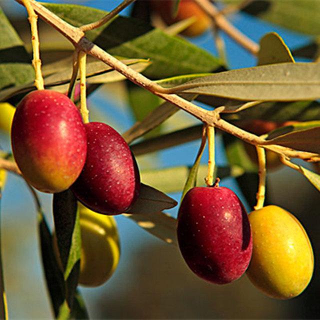 Rare Olive Seeds, 2pcs/pack