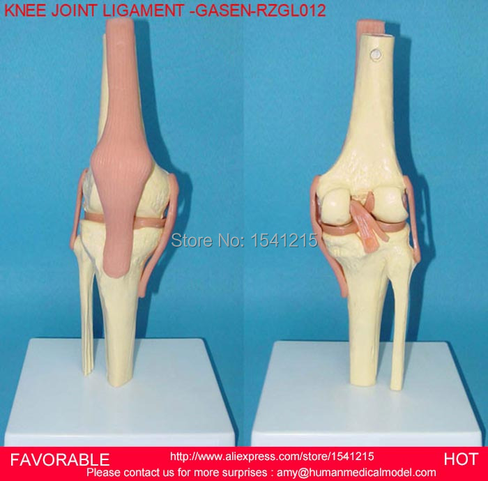 KNEE JOINT MODEL,THE HUMAN SKELETON MODEL,ARTHROPATHY OF THE KNEE JOINT MODEL,MEDICAL ANATOMICAL MODEL,KNEE JOINT GASEN-RZGL012