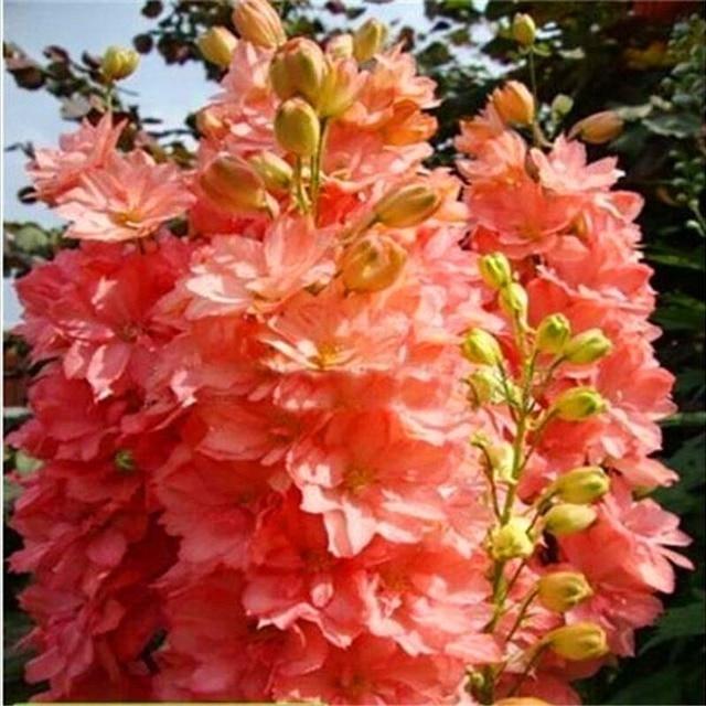 Бесплатная доставка 100 шт красочные дельфиния бонсай Япония Красивая гигантская комната семейный сад органические цветы Харди растения AA