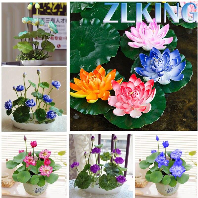ZLKING Bonsai Flower 10 Pcs Lotus Flower for Summer 100% real Water Lily Bowl Lotus Pots Bonsai Garden Hydroponic Aquatic Plants