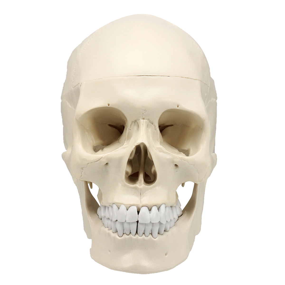 1:1 Life Size Human Head Skull/49cm Tall Mini Spine/Foot Ankle Bone ...