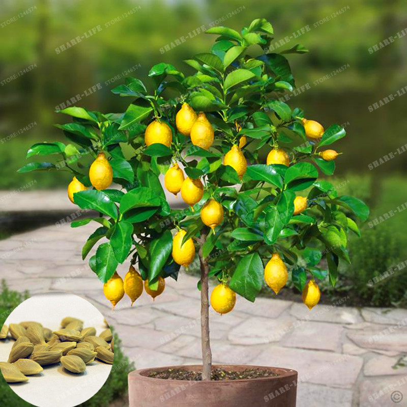 10 pieces/bag Lemon Tree Bonsai High Survival Rate Bonsai Fruit For Home Garden Bonsai Flower Organic Fruit Bonsai(China)