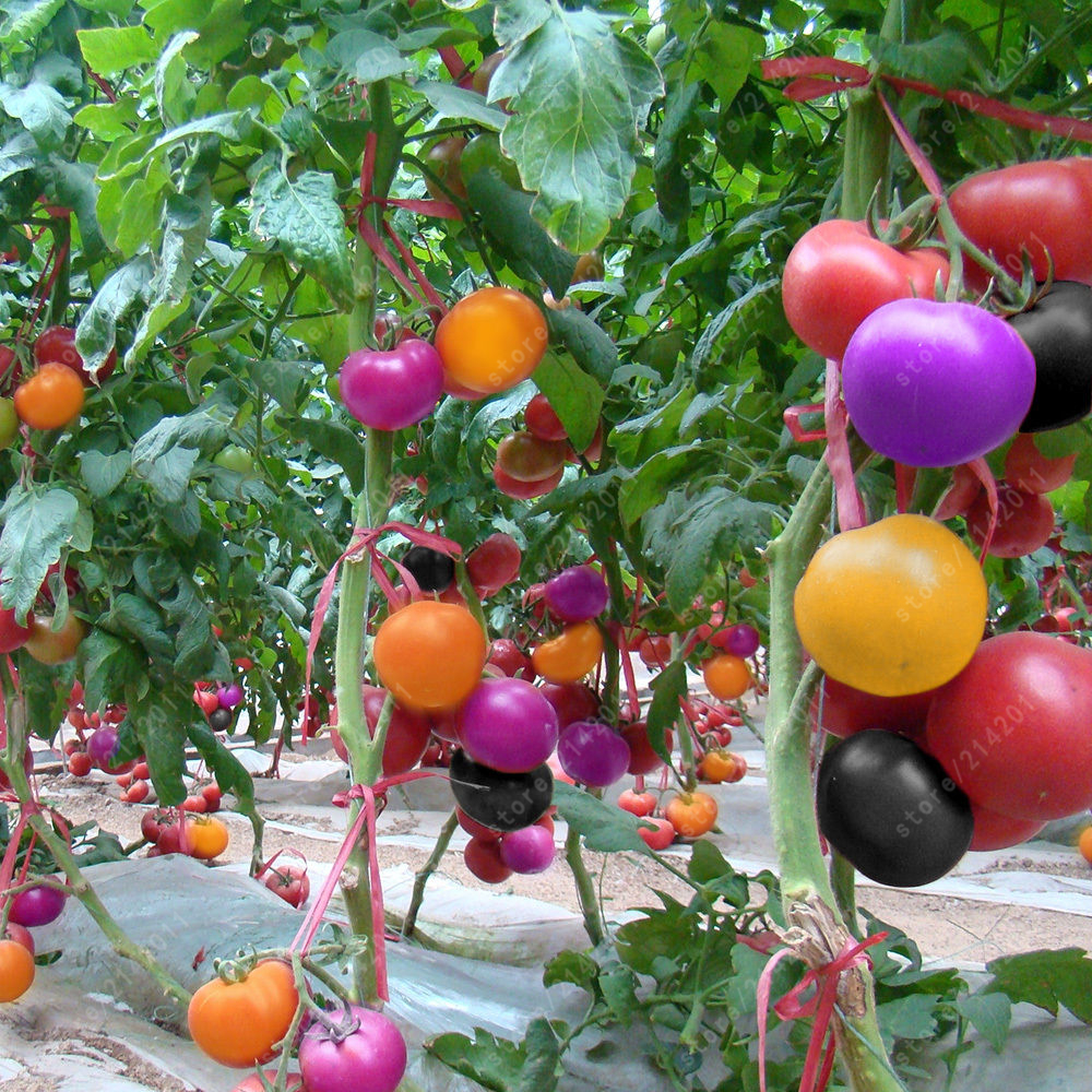 buy 100pcs rare rainbow tomato seeds ornamental pot organic heirloom seeds. Black Bedroom Furniture Sets. Home Design Ideas