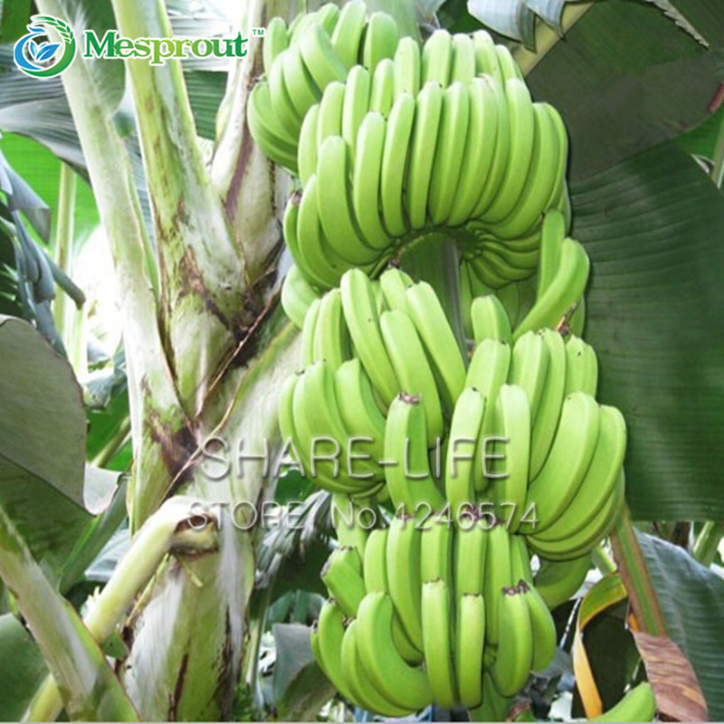 100/bag Banana Bonsai Fruit Bonsai Rare Big Hainan Banana Bonsai Musa, Beautiful Delicious Fruit Bonsai