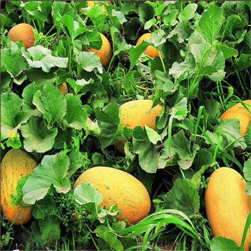 50 pcs Super Big Doce Mel-plantas de orvalho Melão Hami Melão Frutas plantas Suculentas Plantas de Melão Para O Jardim Da Herança