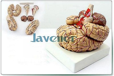 Life Size Human Anatomical Brain Artery Anatomy Medical Model Professional 4d anatomical human brain model anatomy medical teaching tool toy statues sculptures medical school use 7 2 6 10cm