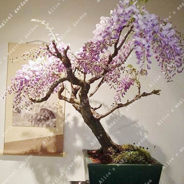 ZLKING 10pcs Wisteria Flower Bonsai Plants For Home Garden Super Natural Products Herbaceous Perennial Plants 1