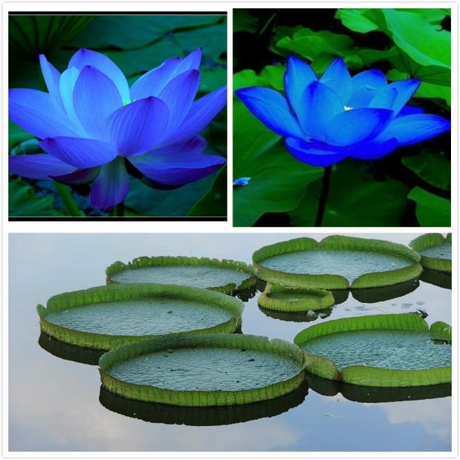 Popular pond lily plants buy cheap pond lily plants lots for Cheap pond plants