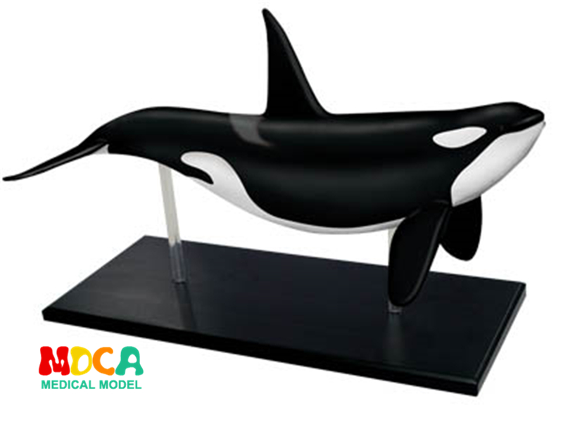 Whale 4d master puzzle Assembling toy Animal Biology organ anatomical model medical teaching model shunzaor dog ear lesion anatomical model animal model animal veterinary science medical teaching aids medical research model