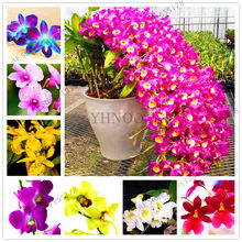 100Pcs/pack, Dendrobium Orchid flower Bonsai,Ornamental Plant, Mini potted,mixed colors(China)