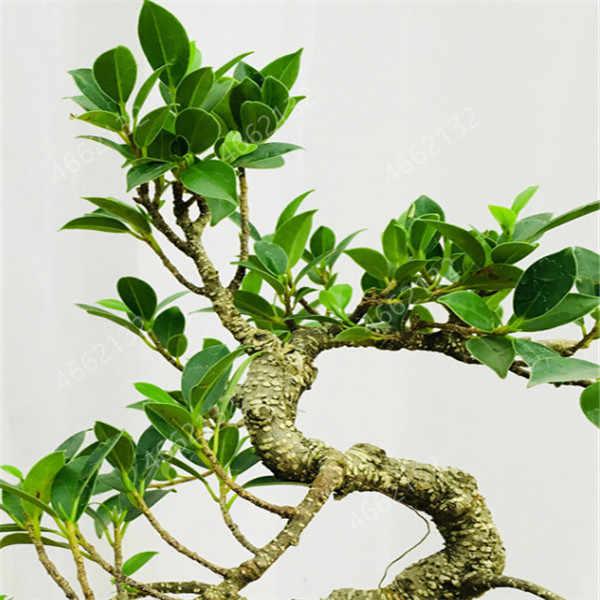30 pz/borsa Eucalyptus bonsai albero pianta Perenne giardino fiore decorazione della famiglia di piante in vaso sono facili da coltivare.