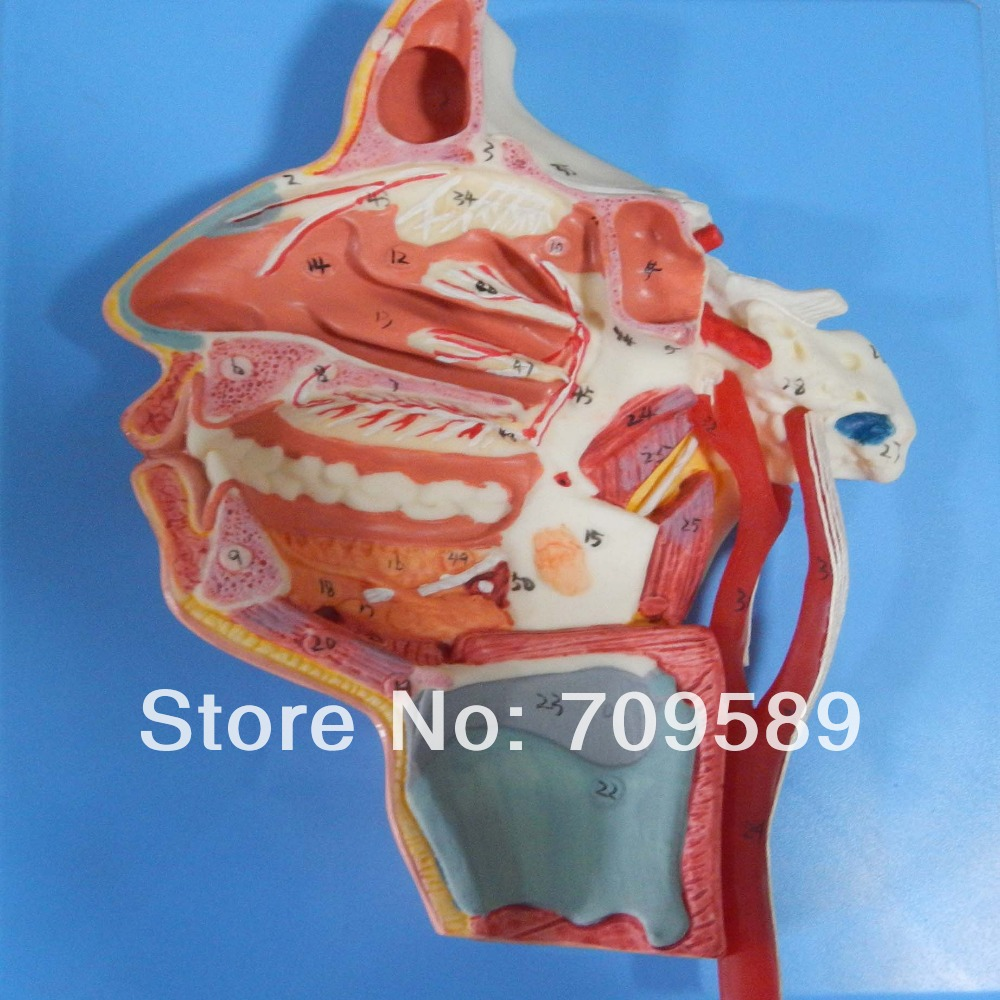 HOT SALES mouth,nose,pharynx and larynx with vessels and nerves nasal oral pharynx and larynx cavity model nasal model with oral pharynx and larynx respiratory system model