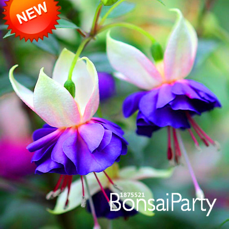Pink Purple Bell Flowers Fuchsia Seeds Potted Flower Plants Hanging 50 Pcs Lot 8p8we9 In Bonsai From Home Garden On Aliexpress