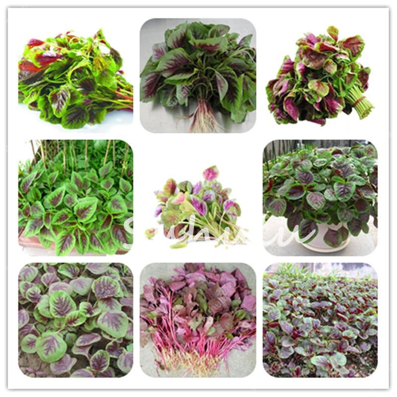 500 pcs Colorful Amaranthus tricolor organic vegetables SEEDS