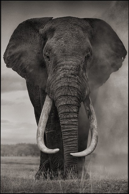 diy cadre lphant afrique animaux paysage monochrome mur dcor affiches art silk affiche en tissu wwscc - Cadre Elephant