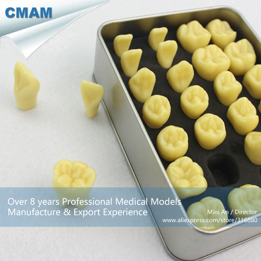 цены 12573 CMAM-TOOTH01 Enlarge 2x Tooth Structure Study Model, Resin Teeth, Medical Science Educational Teaching Anatomical Models