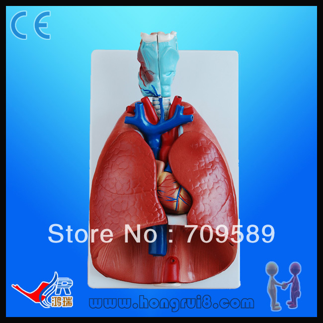Advanced Lung and heart model, Lung model with Larynx human larynx model advanced anatomical larynx model