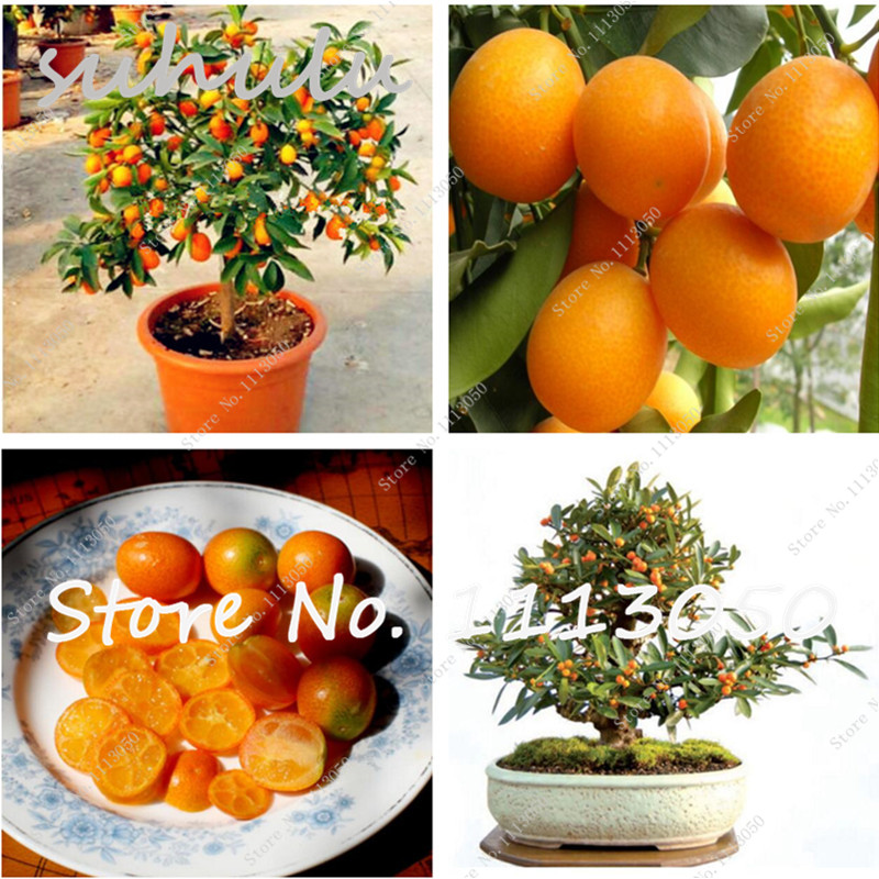 Best-Selling!30Pcs Balcony Patio Potted Fruit Trees Planted Seeds Kumquat Seeds Orange Seeds Tangerine Citrus perfume importado